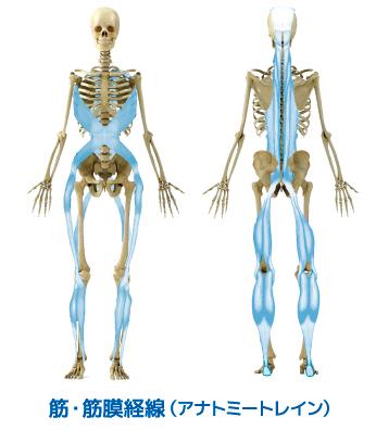 筋・筋膜経線の図
